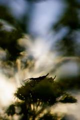_IGP0662_web (Erik Koffmar) Tags: earwig tvestjrt bug koffmar norby uppsala sweden sverige helios f20 macroflowerlover pentax k10d 442