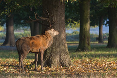 Red deer stag (Cervus elaphus) (Steven Whitehead) Tags: red reddeer stag stags rutting 2016 fur mating nature canon canon5dmk3 woods trees season sunrise sun morning