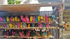 coloured and crowded (SqueakyMarmot) Tags: travel asia indonesia bali 2016 denpasar gajahmadaroad birds colourful