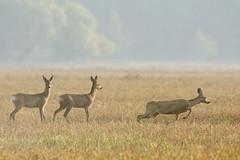 Roe-Deer (Artur Rydzewski) Tags: roedeer roe deer animal nature mammal sarna ngc morning sunrise fog