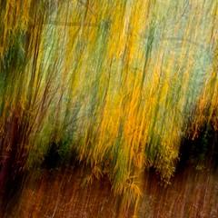 October willow (bnicoll2020) Tags: blur autumn fall leaf colour yellow green tree icm scotland seasons