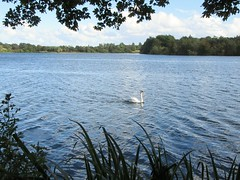 Lonely swan (rbjag71) Tags: swan aquatic bird hogganfield loch glasgow nature canonpowershot sx610hs