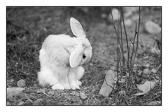 Bamse the Rabbit (Eline Lyng) Tags: rabbit animal outdoor farm portrait leicamonochrom monochrome bw blackandwhite aposummicron75mmf2 75mm bokeh dof farmanimals supershot littledoglaughednoiret