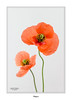 Poppies... (Canconio59) Tags: amapolas flores felizcumple