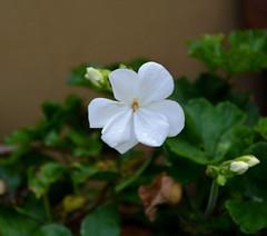 Le lacrime del geranio (giorgiorodano46) Tags: ottobre2016 october 2016 giorgiorodano geranio bianco white whiteflower roma italy