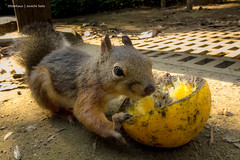 Ate up! (Otterhaus) Tags: japan zoo squirrel