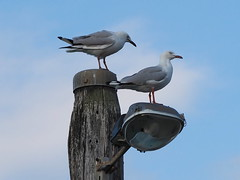 Point Lonsdale (Brian Rich) Tags: pointlonsdale victoria australia seagulls lamppost sea seaside foreshore plon000