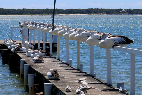 Yamba pelicans on a windy day IMG_1840