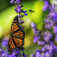 Monarch_SAF2857-1 (sara97) Tags: butterfly flyinginsect insect missouri monarch monarchbutterfly nature outdoors photobysaraannefinke pollinator saintlouis towergerovepark urbanpark danausplexippus copyright2016saraannefinke