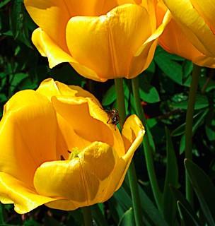 Toronto Ontario ~ Canada ~ Edwards Botanical Gardens ~  Yellow  Tulips with Fly