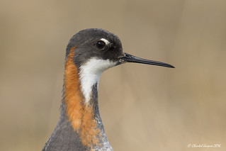 Portrait of a Female red-necked phalarope