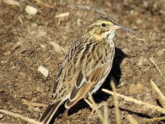 IMG_4308_edTMP-1 (lbj.birds) Tags: kansas nature flinthills wildlife bird sparrow savannahsparrow