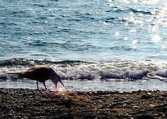 Let's taste.. (kallchar) Tags: sea ocean bird taste thirsty sand sun sunset hungry hunger olympusomdem10 colors beach