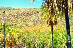 Palms among the eukalyptus at fern creek, Kimberley 1996 (SubiYurek) Tags: kingleopoldranges westkimberley gibbriverroad ferncreek palms eucalyptus rockyoutcrops