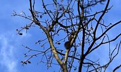 cureuil (bulbocode909) Tags: valais suisse cureuils nature arbres automne bleu ciel