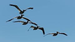 Pelicans in Flight (maytag97) Tags: maytag97 tamron 150600 150 600 pelican flight fly airborne wing bill beak outdoor bird animal