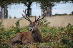 Resting (Mabacam) Tags: 2016 london richmonduponthames richmond richmondpark nationalnaturereserve park openspace environment nature deer reddeer stag animal