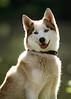 Husky by UEA Lake (Jonathan Casey) Tags: dog lake uae norfolk norwich rspca nikon d810 husky 200mm f2 vr