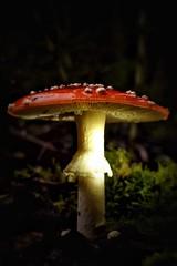 Herbstzeit ist Pilzzeit - was fr ein Glck  (Nicole Signer) Tags: forest wald weiss posen giftig rot fliegenpilz herbst pilz