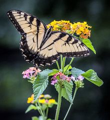 Tiger Swallowtail (Mark Chandler Photography) Tags: 7dmarkii flowers markchandler nature butterflies butterfly canon color colour eastern flower insect lantana mariposa photo photography stock swallowtail tiger tigerswallowtail yellow flora bokeh dof