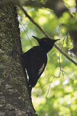 Carpintero Negro - Campephilus magellanicus (gerardo.carinao) Tags: regióndelmaule cerro cerrolacampana armerillo chile 2016 aves fauna carpinteronegro campephilusmagellanicus pájarocarpintero