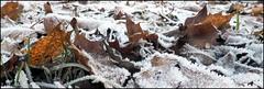 - frostig Heute - (HORB-52) Tags: berndsontheimer badenwrttemberg blackforest frost bltter