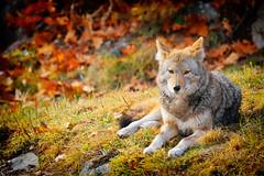 Wile E. Coyote (DHaug) Tags: wileecoyote coyote canislatrans wild parcomega québec montebello resting watchful want hungry xt2 fujifilm xf100400mmf4556rlmoiswr xf100400 looneytunes chuckjones