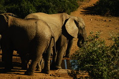 DSC03789 (Emily Hanley Photography) Tags: elephant elephants addo elephantpark nationalpark sa southafrica africa photography colour warthogs buffalo zebra waterhole rawimages raw nature naturalphotography animals animal