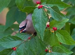 Cedar Waxwing (igor kovalenko) Tags: cedarwaxwing bird honeysuckle berries