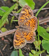 CAC019211a.jpg (jerryoldenettel) Tags: 2015 fl kissimmeeprairiepreserve nymphalidae nymphalinae okeechobeeco pearlcrescent phyciodes phyciodestharos butterfly crescent insect