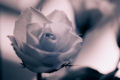soft rose (t1ggr) Tags: rose mono dof softtones closeup macro light blossom flower floral