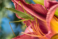 Nibbling (Tom's Macro and Nature Photographs) Tags: macrophotography insects orthoptera katydids katydid bushkatydid flowers gardeninsects garden pollen scudderia