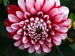 Pink Dahlia (ksblack99) Tags: dahlia pink flower