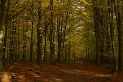Autumn foliage (Budoka Photography) Tags: autumn foliage colorsofautumn canonfd50mmlf12 manual outdoor skäralid forest shadows nature landscape nationalpark sonyalphailce7rm2 canonllens tree