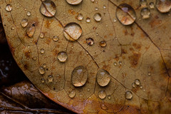 Yellow Leaf (benevolentkira7) Tags: plant nature leaf outdoors outdoor outside fall season dark color contrast macro close water droplets drop wet texture