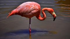 The beauty (flowerikka) Tags: ecuador galapagos santacruz flamingo bird water redcolor beauty outdoor travel