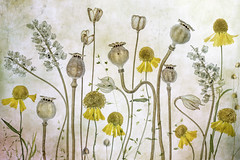 Poppies and Heleniums (Mandy Disher) Tags: poppy helenium
