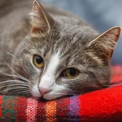 20150219070766 (koppomcolors) Tags: koppomcolors katt cat