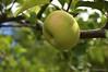 Apple tree (eliseteshiraishi) Tags: appletree asian asiancontinent fruit higashiyamafruitpark japan landscape nikon noperson colorful fruta outdoor postcard nagoyashi aichiken japão aoarlivre