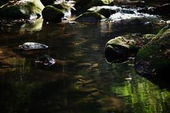 Oct2016 South Mtn State Park 23 (furrycelt) Tags: jacobsforkriver jacobsfork nikon85mmf14afd nikon85mmf14 northcarolina southmountainstatepark southmountains ianwilson jianwilson photographersoftumblr 85mm d600 nc nikon october autumn fall forest furrycelt leaves lensblr natural nature river rocks sunlight trees water woods