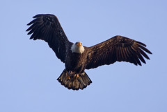 Bald Eagle with fish (jimbobphoto) Tags: bird fish fishing raptor eagle baldeagle animal wildlife nature wings beak
