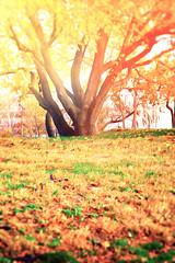 Tree (-Simulacrum-) Tags: tree autumn autumncolors fall fallcolors nature warmcolors nikon nikond5300 sigma1750mm creative blur depthoffield