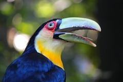 Toucan, Parc des Oiseaux (Voyages Lambert) Tags: redbreastedtoucan portrait iguacunationalpark tropicalclimate wildlife nature brazil argentina southamerica theamericas beak toucan bird animal