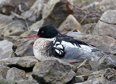 Red-br. Merganser (mbrown IN) Tags: michael brown redbreasted merganser sullivan cty indiana rbme9900