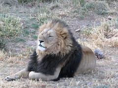 Lwe_2 (@ FS Images) Tags: lwe langemhne liegend rudelfhrer canon eos 600d outdoor landschaft natur raubtier rudel sdafrika safari tiere lwen