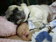 7 days after being born, Talya has another daddy. (Jaye Eryk) Tags: pug dog protective love loving care family baby newborn babygirl little sweet sleep pic picoftheday photography photo photooftheday