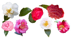 Assorted Camellias