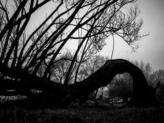 Still alive (fishyfish_arcade) Tags: 20mmf17 gx7 lumix misty panasonic panasonic20mmf17asphlumixg tree branches twisted silhouette