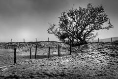 Tree In Winter (garethleethomas) Tags: tree nature snow winter hills pembrokeshire wales canon blackandwhite monochrome outdoor plant serene