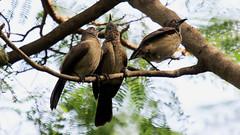 Brown Babbler. Turdoides plebejus (jaytee27) Tags: brownbabblerturdoidesplebejus gambia naturethroughthelens